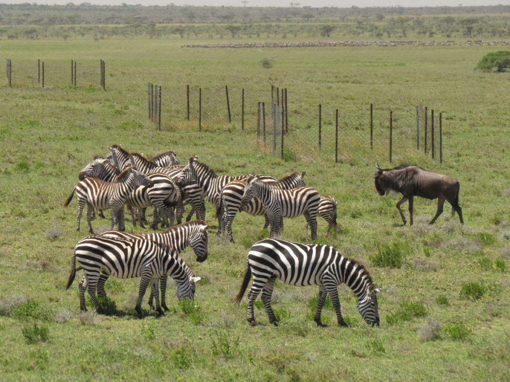 Zebra and Wildebeest in Serengeti - T. Michael Anderson