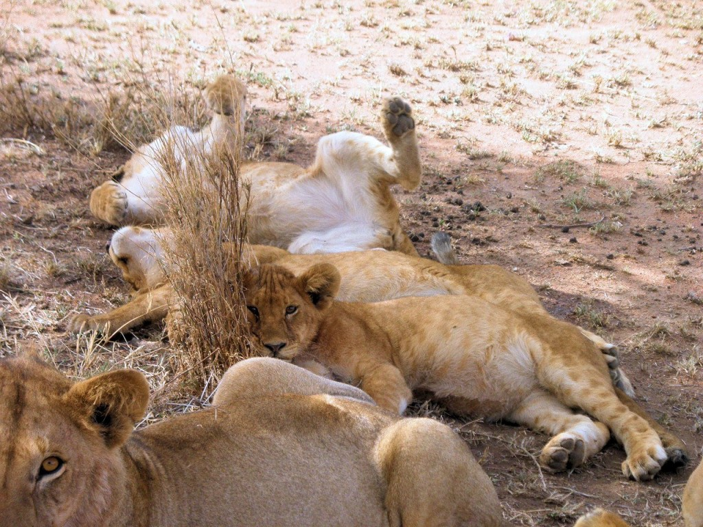 Addendum: grass also makes a nice pillow for lion cubs.